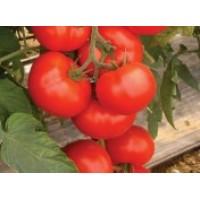 "Tomate  ""AMERIGO F1"""